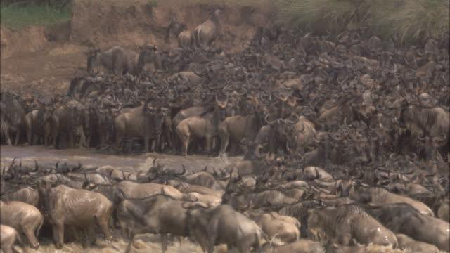 Migrating wildebeest cross Mara River, Africa.