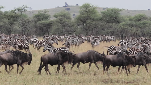 migration of wildebeest and zebra, serengeti national park, tanzania - wildebeest stock videos & royalty-free footage