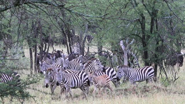 migration of wildebeest and zebra, serengeti national park, tanzania - steppenzebra stock-videos und b-roll-filmmaterial