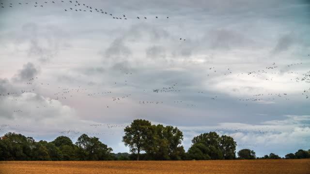 Migratory Birds in Rural Landscape, Brandenburg Germany