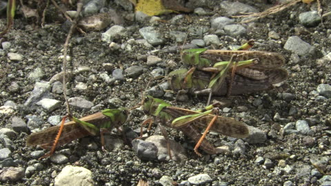 migratory locusts mating - small group of animals stock videos & royalty-free footage