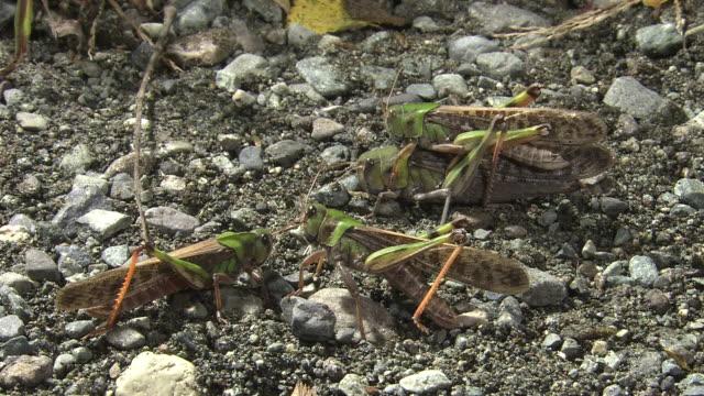 vídeos y material grabado en eventos de stock de migratory locusts mating - grupo pequeño de animales