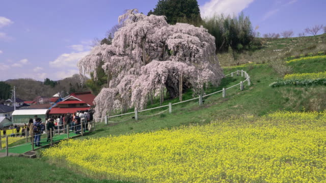ws cs miharu takizakura cherry tree and rapeseed fields on hill, miharu, fukushima prefecture, japan - crane shot stock videos & royalty-free footage