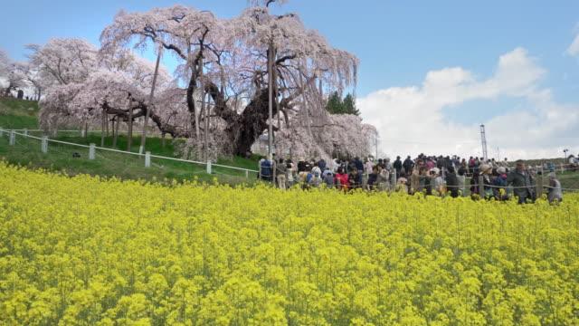 ws ds miharu takizakura cherry tree and rapeseed fields on hill, miharu, fukushima prefecture, japan - naturwunder stock-videos und b-roll-filmmaterial