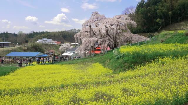 ws cs miharu takizakura cherry tree and rapeseed fields on hill, miharu, fukushima prefecture, japan - naturwunder stock-videos und b-roll-filmmaterial