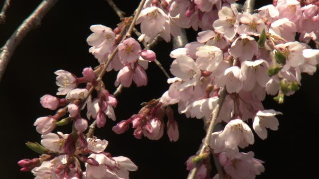 vidéos et rushes de miharu takizakura, cherry tree in miharu, fukushima, japan - branche partie d'une plante