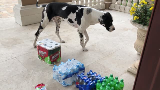 mikey and ellie the great danes are still working on their grocery delivery skills and the new idea of having groceries delivered to the front porch... - jolly video stock e b–roll