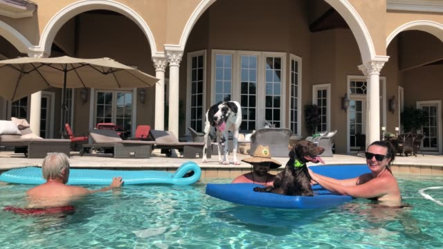 mikey the great dane is now 10 months old and doesn't seem to remember his introduction to the pool and the floatie when he was 8 weeks old his buddy... - week stock videos & royalty-free footage