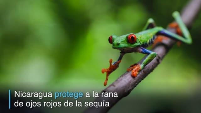 miles de atractivas ranas de ojos rojos una especie amenazada de las selvas tropicales de mexico centroamerica y colombia son protegidas de los... - reserva animal stock videos and b-roll footage