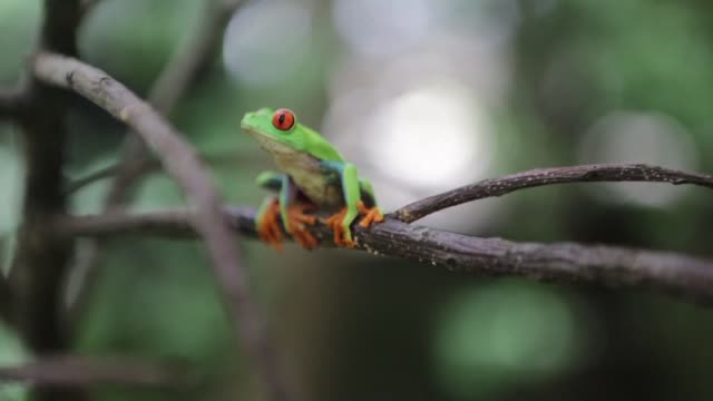 miles de ranas de ojos rojos una especie amenazada son protegidas de los efectos del cambio climatico en la reserva nicaraguense montibelli en las... - reserva animal stock videos and b-roll footage