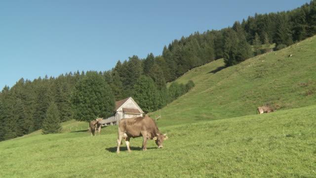 vídeos de stock e filmes b-roll de ms milk cow grazing in meadow with hut pasture / appenzell, appenzell innerhoden, switzerland - grupo pequeno de animais
