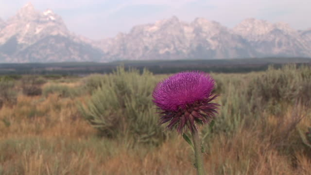 CU, SELECTIVE FOCUS, Milk thistle flower (Asteraceae) growing in field, mountains in background, Grand Teton National Park, Wyoming, USA