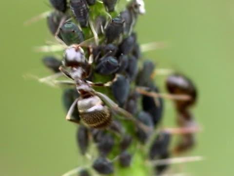 vídeos y material grabado en eventos de stock de ordeñar aphids pal - simbiosis