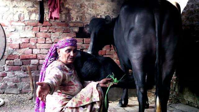 Mjölkning buffalo
