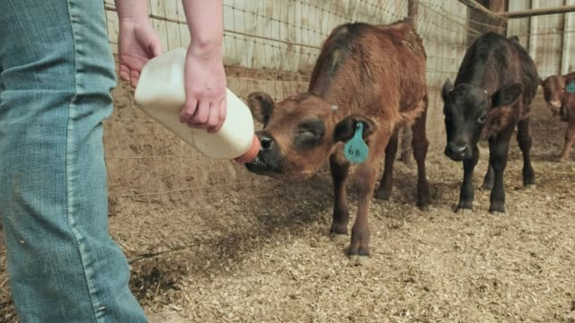 milking calves - calf stock videos & royalty-free footage