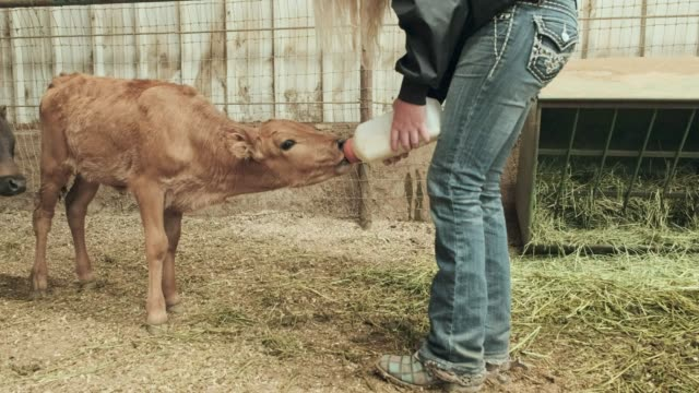 milking calves - small group of animals stock videos & royalty-free footage
