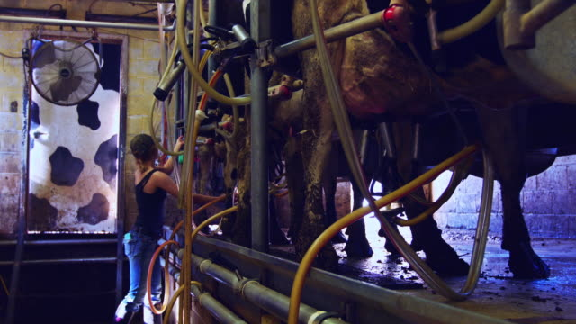 Milking Cows at Small Dairy Farm