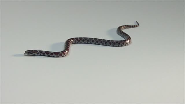 vídeos y material grabado en eventos de stock de milksnake moving across a white surface - serpiente