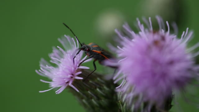 milkweed bug on purple wildflower, macro - invertebrate stock videos & royalty-free footage