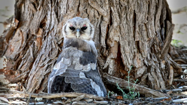 Milky eagle owl in cooling posture