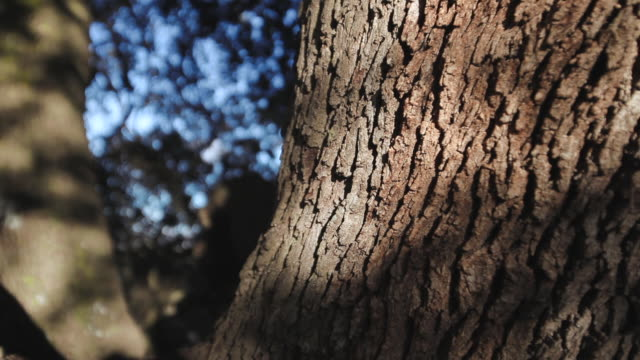 c/u millenial holm oak trunk (dolly track) - tree trunk stock videos & royalty-free footage