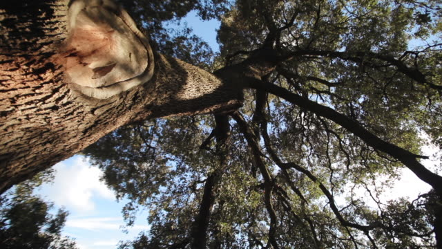 w/s millennial holm oak, big branch  (dolly track) - single tree stock videos & royalty-free footage