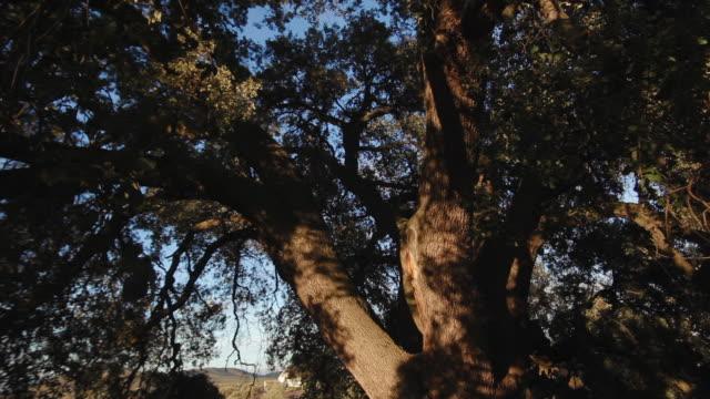 w/s millennial holm oak  (dolly track) - oak tree stock videos and b-roll footage