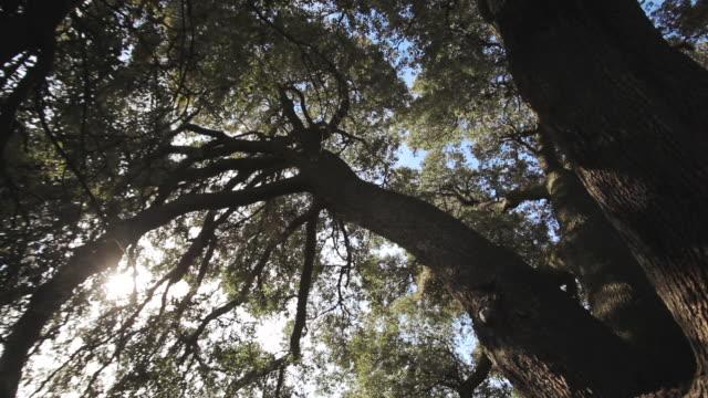 w/s millennial holm oak  (dolly track + flare) - oak tree stock videos and b-roll footage