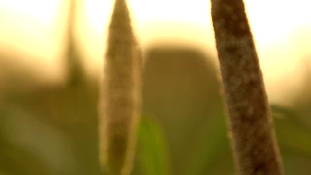 vídeos de stock e filmes b-roll de millet crop field - castanho