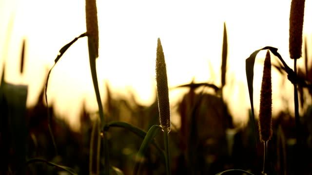 hd: millet crop (zoom in) - grain cart stock videos & royalty-free footage