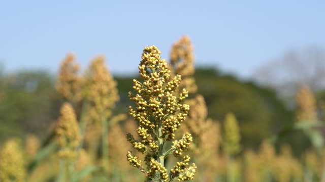 millet field with blue sky - sorghum stock videos and b-roll footage