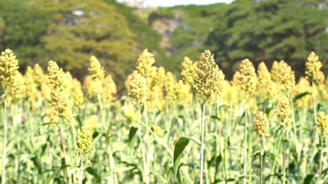 millet field with blue sky - sorghum stock videos & royalty-free footage