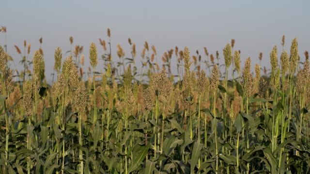 millet or sorghum an important cereal crop in field - sorghum stock videos & royalty-free footage
