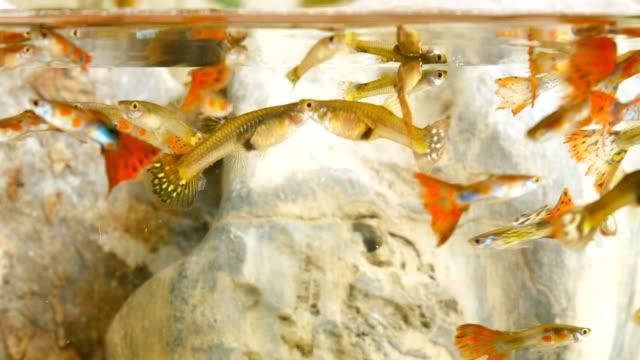 Millions fish in small aquarium.