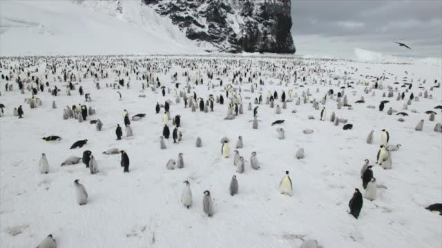 2 millions of emperor penguin couples in antarctic - 多数の動物点の映像素材/bロール