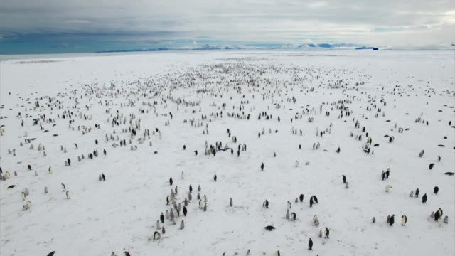 2 millions of emperor penguin couples in antarctic - antarctica stock videos & royalty-free footage