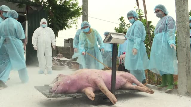 millions of pigs are being culled as african swine fever sweeps across asia cutting through global food chains with pork prices expected to soar from... - batter food stock videos & royalty-free footage