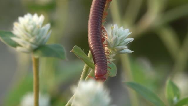 vídeos de stock e filmes b-roll de millipede crawling on a flower - filhote de animal