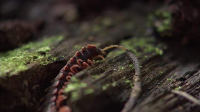 millipede (platyrhachus sp.) on rainforest floor, sabah, borneo - ボルネオ島点の映像素材/bロール