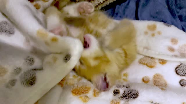 milo is a very lucky kitten who has just had his first restful night in his life at black dog farm and rescue in texas. he settled in and had a sound... - sorghum stock videos & royalty-free footage