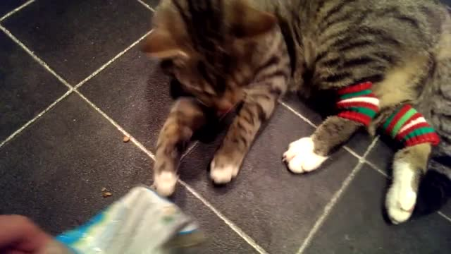 milo the cat just loves his catnip. his owner, mohammed naser, likes to indulge him as can be seen in this video. watch as milo shows his... - sorghum stock videos & royalty-free footage