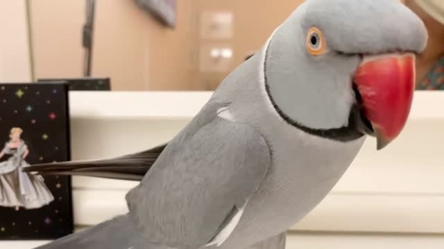 milo the indian ringneck loves to keep himself busy by talking to himself in the mirror. cuteness overload! - sorghum stock videos & royalty-free footage