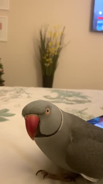 """milo the indian ringneck says """"come here, baby"""" to his owner in order to get a kiss. priceless! - sorghum stock videos & royalty-free footage"""