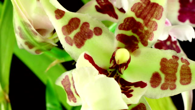 miltonia orchid blooming in time lapse - floral pattern stock videos and b-roll footage