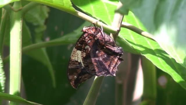 vídeos de stock e filmes b-roll de borboleta mimético - invertebrado