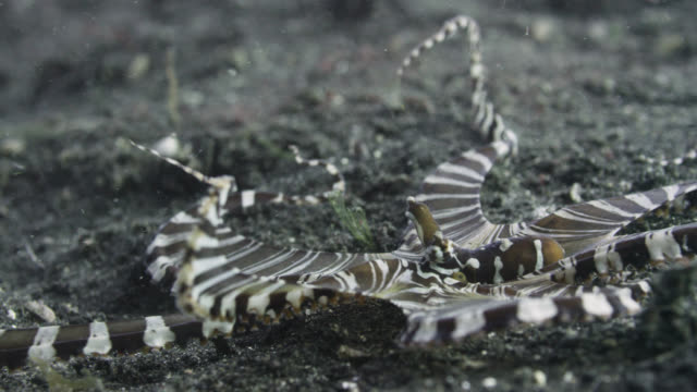 Mimic octopus (Wonderpus photogenicus) changes colour on seabed, Sulawesi, Indonesia