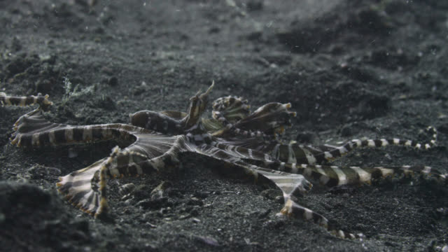 mimic octopus (wonderpus photogenicus) crawls over seabed, sulawesi, indonesia - copying stock videos & royalty-free footage