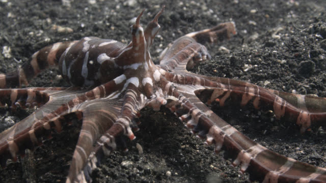 mimic octopus (wonderpus photogenicus) crawls over seabed, sulawesi, indonesia - tentacle stock videos & royalty-free footage