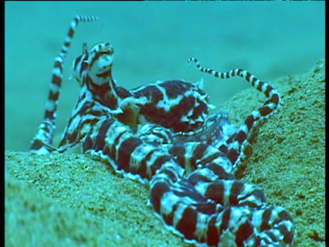 mimic octopus on seabed, mimics anemone with tentacles raised, sulawesi. - imitation stock videos & royalty-free footage