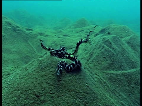 mimic octopus swims into a mound, tentacles raised, sulawesi. - stack stock videos & royalty-free footage